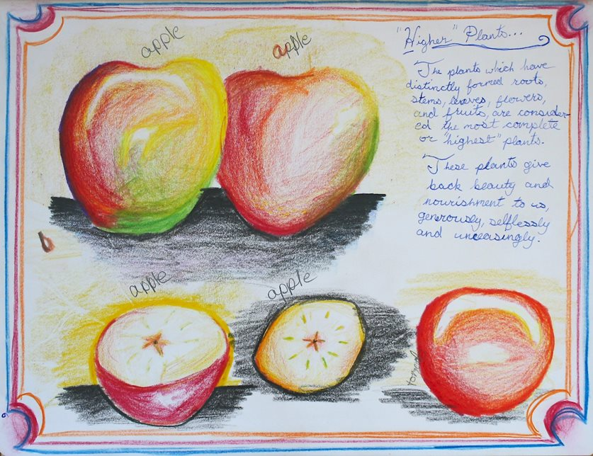 In their botany main lesson, fifth-graders learn the foundations of the plant kingdom through close observation of plants. These drawings of apples are part of a student's main lesson book.